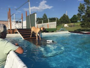 Great Dane Elsa has fun on a hot day-Introduction to pool!